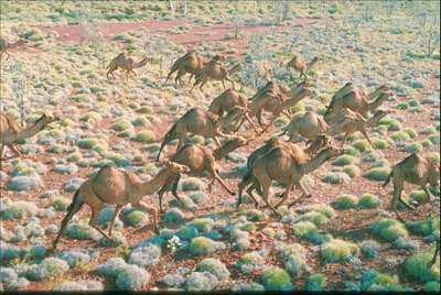 Aerial view of feral camels running across the range. Australia is the only country with herds of feral camels